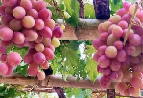 Cara Menanam Anggur Di Pot Dan Pekarangan
