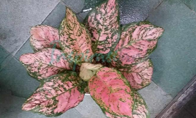Aglonema Pink Ruby