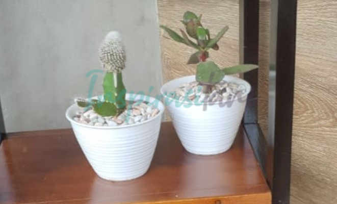 Kaktus Mini Penghias Rumah