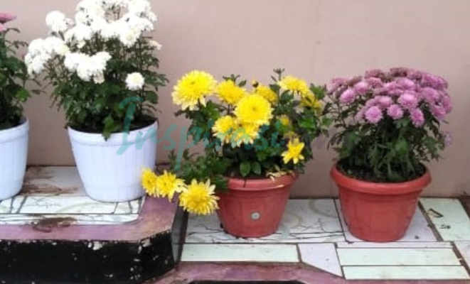 Cara Merawat Bunga Krisan Nan Eksotik