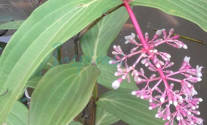 Bunga Parijata